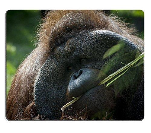 Orangutan Framed - 9