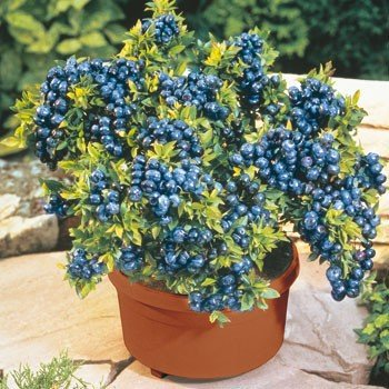 100-seeds-pack-blueberry-seeds-bonsai-edible-fruit-seed-indoor-outdoor-available