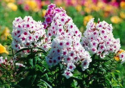 Bonsai Semillas phlox 200pcs multicolores semillas de flor novela de Plantas para jardín de DIY: Amazon.es: Jardín