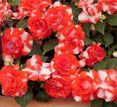 Impatiens Seeds 25 Seeds Double Royal Flush Orange
