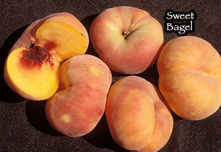Donut Sweet Bagel Peach Tree in Soil--Packaged for Summer Travel, Five Gallon Container