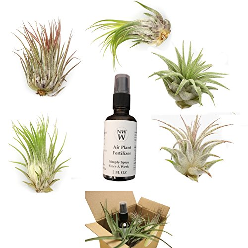NW Wholesaler - 5 Pack Assorted Tillandsia Air Plants with Air Plant Fertilizer in Gift Box