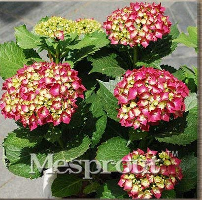 on sal ! 10pcs Common Hydrangea Seeds Balcony Potted Plant Hydrangea Flower Pot Plant Cultivation Seeds me#00103