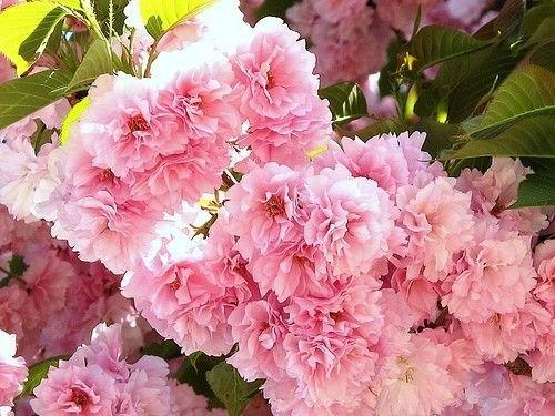 (2 Kwanzan Flowering Cherry Tree)