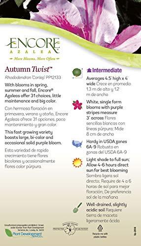 Encore Azalea | 1 Gallon Autumn Twist, Multicolor Re-Blooming Evergreen Shrub by Encore (Image #4)