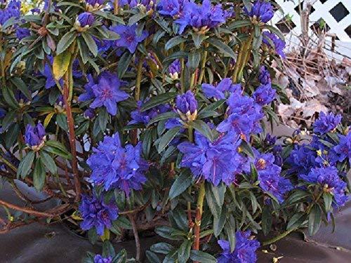 Blue Baron Rhododendron - Live Plant - Quart Pot