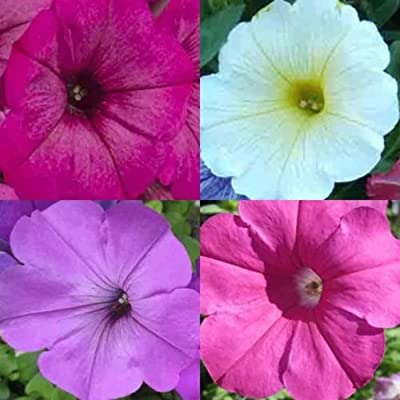 PETUNIA HYBRIDA MIX 600 SEEDS Hanging Baskets Containers Trailing Cascading USA : Garden & Outdoor