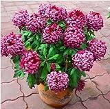 (Gerbera *Ambizu*) 50pcs/bag Gerbera Seeds,barberton Daisy Flower Garden,easy to Plant Salmon Pink Gerbera (914)