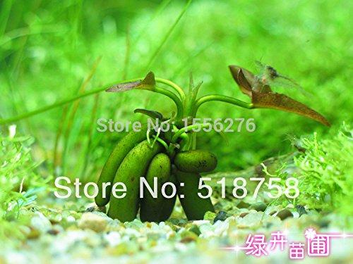 (340Semillas - (17Kinds) Aquarium Grass Water Aquatic Plant Family Easy Plant Waterweeds Plant Semillas )