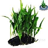 Greenpro Java Fern on Driftwood Live Aquarium Plants for Freshwater Fish Tank Water Plants Decorations