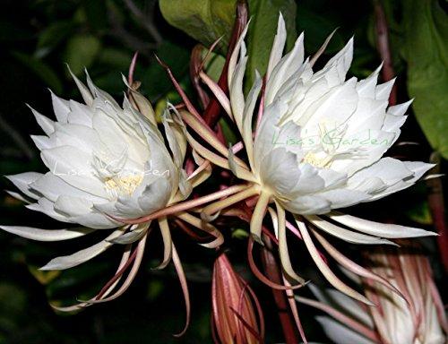 Orchid Cactus Epiphyllum Oxypetalum (white) One