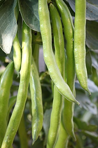 Pack Variety Bean - Green French bean Casablanka - low growing variety - seeds