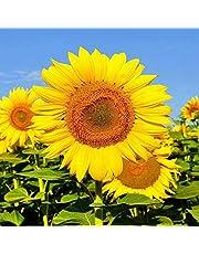 Semente de Girassol Amarelo - Embalagem 600mg