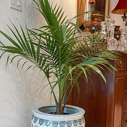 United Nursery Majesty Palm Tree, Live Indoor and Outdoor Plant. 36'' Shipping Size. Shipped Fresh in Grower Pot from Our Florida Farm by United Nursery (Image #3)