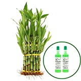 NW Wholesaler - Lucky Bamboo 3 Tier Tower with 39 Bamboo Stalks with 2 Free Bottles of Bamboo Fertilizer