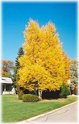 Paper Birch, Betula papyrifera, Tree Seeds (Fast, Hardy, Fall Color) 50