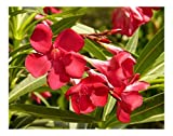 25 RED FLOWERED OLEANDER SEEDS - Nerium Oleander