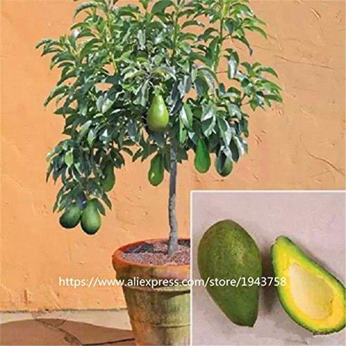 10 piezas de fruta verde Aguacate semillas muy delicioso Persea americana Mill pera Semilla fácil de cultivar, semillas de frutas para Inicio de plantas de ...