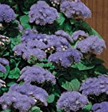 50 Seeds of Ageratum Hawaii Series Blue Annual