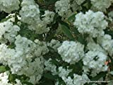 Bridal Wreath Spiraea, spring flowering, white flowers, 32 plants
