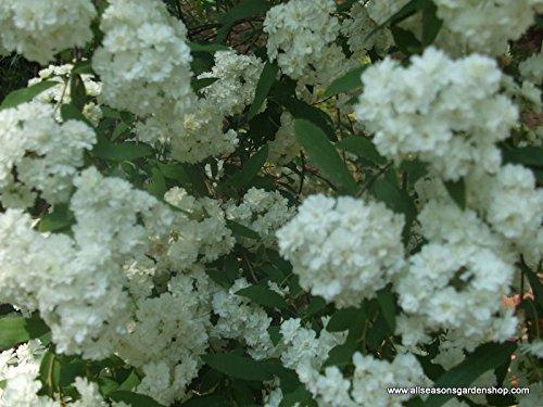 Bridal Wreath Spiraea, spring flowering white flowers, TEN plants, by Unknown