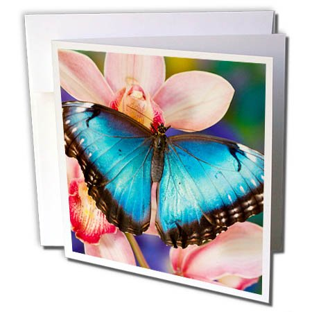 Tropical Wedding Postage (3dRose Danita Delimont - Hummingbirds - Tropical Butterfly the Blue Morpho open winged on tropical orchid - 12 Greeting Cards with envelopes (gc_278017_2))