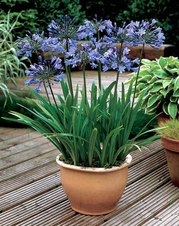 Park Seed Headbourne Hybrids Lily of The Nile Seeds ()