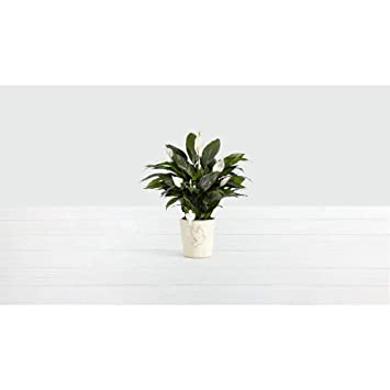 Amazon Com Proflowers White Sympathy Peace Lily With