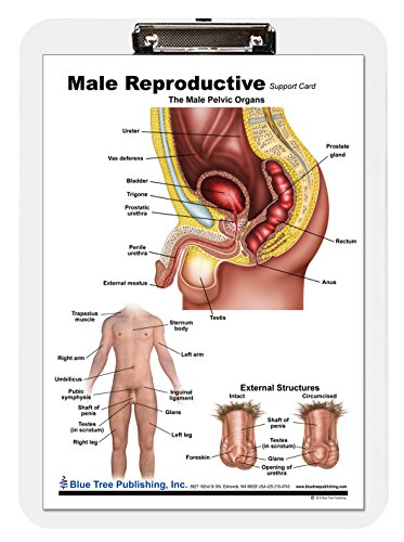Male Reproductive Chart - Male Reproductive Anatomy Poster