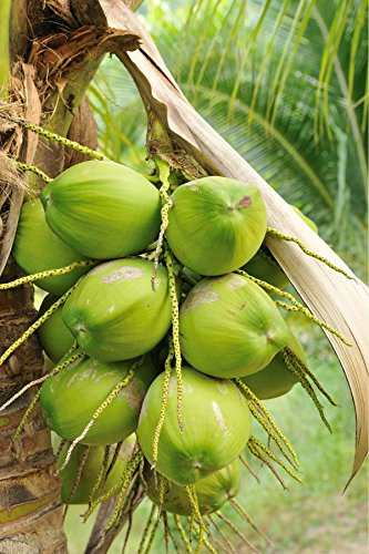 Coconut Tree (Green) Hawaiian, Live Palm, Dwarf Malayan,48'' (Excludes:CA) by Root 98 Warehouse (Image #1)