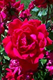 Knockout Double Red Rose Shrub Plants
