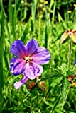 Geranium Pratense Meadow Cranesbill Cranes Bill Flowers Journal: Take Notes, Write Down Memories in this 150 Page Lined Journal