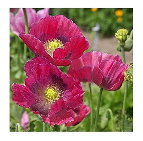 David's Garden Seeds Flower Poppy Hens & Chicks FI8993 (Red) 100 Non-GMO, Open Pollinated Seeds