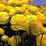 Ranunculus Yellow - Persian Buttercup Bulbs - 20 XL Bulbs - 8+ cm
