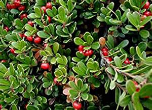 BEARBERRY-Arctostaphylos UVA URSI-25 FRESH SEED-KIDNEY UTI NATURAL REMEDY-Groundcover- Organic Heirloom Herb Seed