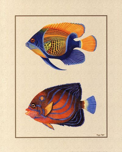 Tropical Fish III by Maggie Riegler - 16x20 Inches - Art Print Poster -  PosterPalooza, LE_431577