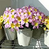 Hot Products Rare 1 Pcs Oxalis Obtusa Large Seeds Oxalis Flowers Bulbs Color Rotary for Garden Flower