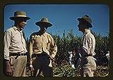 Photo: Sugar cane workers,vicinity of Rio Piedras,Puerto Rico,Agriculture,Jack Delano