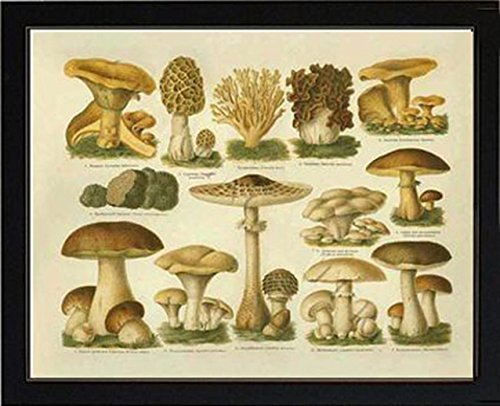 Mushroom Poster Edible Species Vintage Art Print - Ready to frame sizes