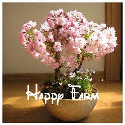 Japanese sakura seeds ,bonsai flower Cherry Blossoms Tree,10pcs/bag free shipping