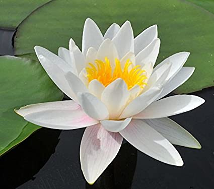 Amazon european white water lily flower 10 seeds aquatic plant european white water lily flower 10 seeds aquatic plant star shape flowers ponds water features and mightylinksfo