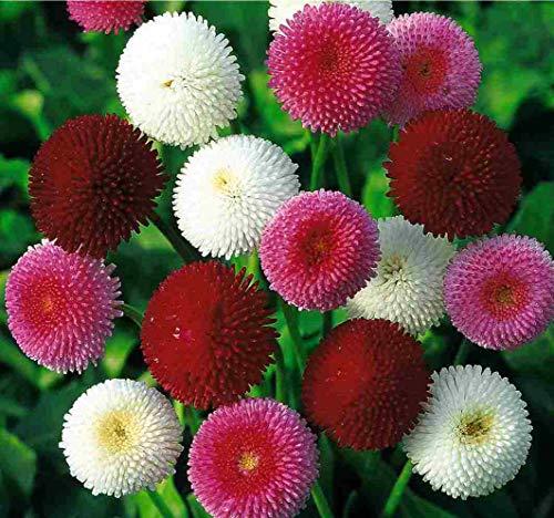 Seeds Marguerite English Daisy Pompon Double Bellis Mix Outdoor Perennial Garden Cut Organic Ukraine ()