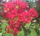 Sandys Nursery Online Crape Myrtle Red Rocket Tree PP#11342 Cherry Red Flowers