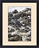 Framed Print of Africa. Tanzania. Wildebeest herd crossing the Mara river during the annual