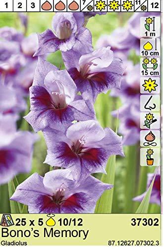 Gladiolenzwiebeln Bonos Memory Gladiolus Gladiole 5 Blumenzwiebeln