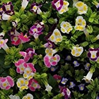 Outsidepride Torenia Fournieri - 100 Seeds