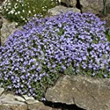 Outsidepride Aubrieta Rock Cress Pale Blue Ground Cover Plant Seed - 5000 seeds