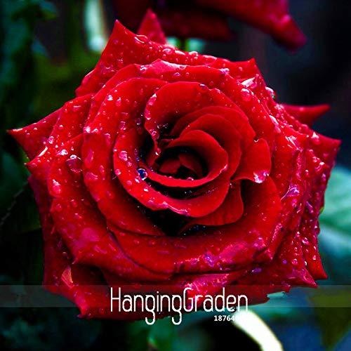 Best-Selling!Strong Fragrant red Rose Flower Seeds, 50 pcs/lot, Big Blooming Garden Rose, y3mrhk