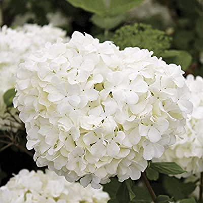 Sterile Viburnum - Chinese Snowball Shrub-Live Established Rooted - 1 Gallon Pot from Grandiosy Farm : Garden & Outdoor