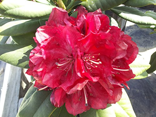 Green Promise Farms Rhododendron X 'Skookum' (Rhododendron) Evergreen, red flowers, 2 - Size Container -
